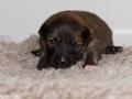s Pup 3 Álfkona 13 dagen oud