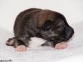 s Pup 4 Baldur 1 week oud (2)