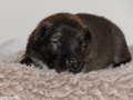 s Pup 4 Baldur 13 dagen oud