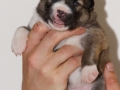s Pup 1 Lotta 2 weken oud (2)