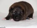 s Pup 2 Askur 2 weken oud (1)