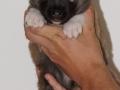 s Pup 6 Kappi 3 weken oud