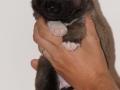 s Pup 7 Æska 3 weken oud