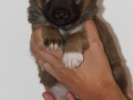 s Pup 3 Álfkona 4 weken oud