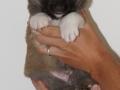 s Pup 6 Kappi 4 weken oud