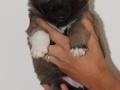 s Pup 7 Æska 4 weken oud