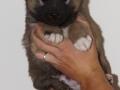 s Pup 2 Askur 5 weken oud