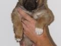 s Pup 3 Álfkona 5 weken oud