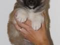 s Pup 6 Kappi 5 weken oud