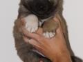 s Pup 7 Æska 5 weken oud